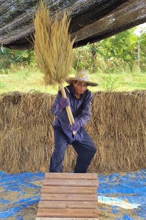thresh: The traditional way of threshing grain in Thailand