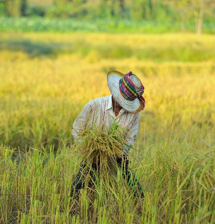 campesino: agricultor en el campo, es el momento de la cosecha Foto de archivo