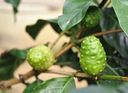 noni fruit: Noni fruit Stock Photo