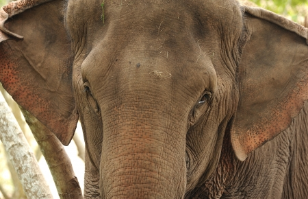 Asian Elephant head close up photo