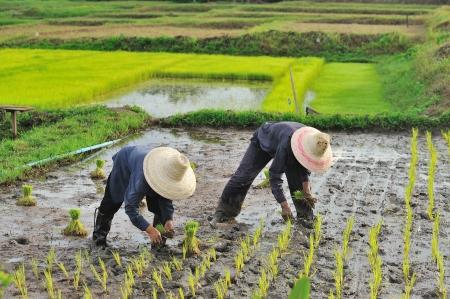 farmlands: Thai farmer planting on the paddy rice farmland Stock Photo