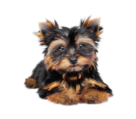 Yorkshire Terrier (2 months) in front of a white background photo