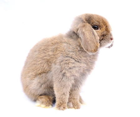 Lop rabbit on white background photo