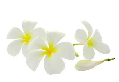 Tropical flowers frangipani (plumeria) isolated on white background Stock Photo - 14732292