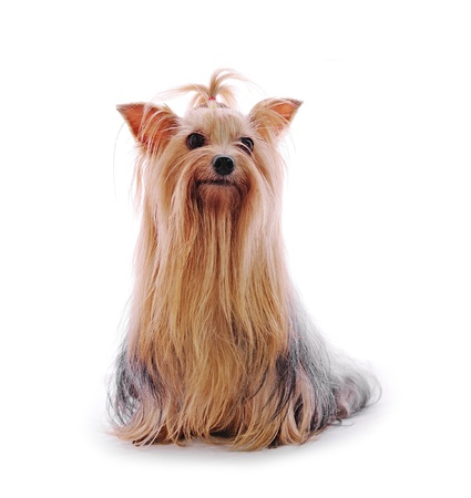 Beautiful Yorkie on white background photo