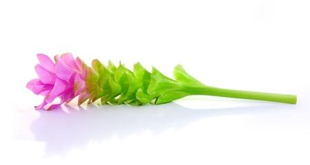 siam: siam tulips