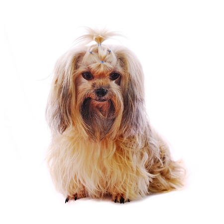 tzu: Shih Tzu dog in studio on a white background
