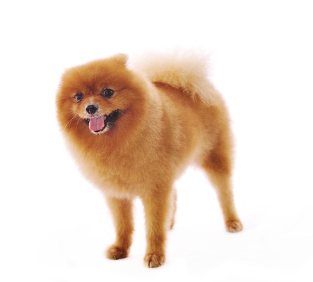 studioshot: Pomeranian Spitz dog. Portrait on a white background