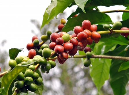 coffee harvest: coffee beans on coffee tree Stock Photo
