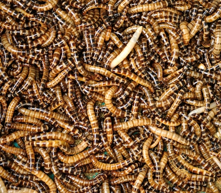 mealworms Stock Photo - 17439970