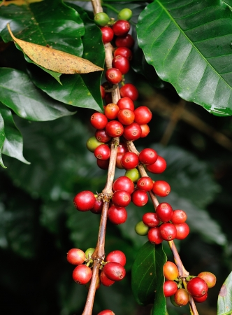 coffee beans on coffee tree Stock Photo - 17439914