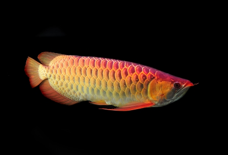 egglayer: Asian Arowana fish on black background.