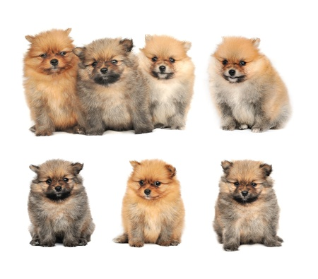 Pomeranian Spitz dog. Portrait on a white background Stock Photo - 17439909