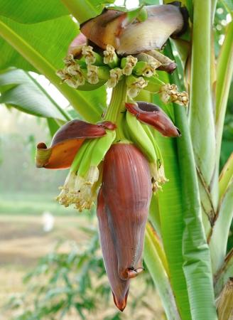 Banana Blossom plant Banana Blossom plant Stock Photo - 17439919