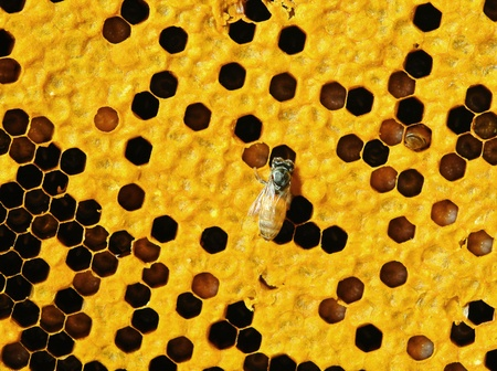 Close up view of the working bees on honeycells Stock Photo - 17439961