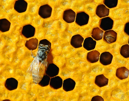 Close up view of the working bees on honeycells. Stock Photo - 17439918