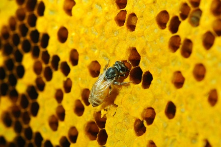 Close up view of the working bees on honeycells. Stock Photo - 17439953