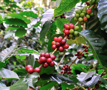 red coffee beans on coffee tree photo