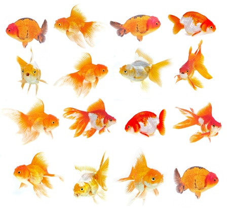 Set of Goldfish on White Background