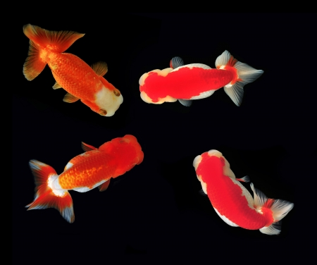 lionhead: Ranchu Lion Head goldfish on background Stock Photo