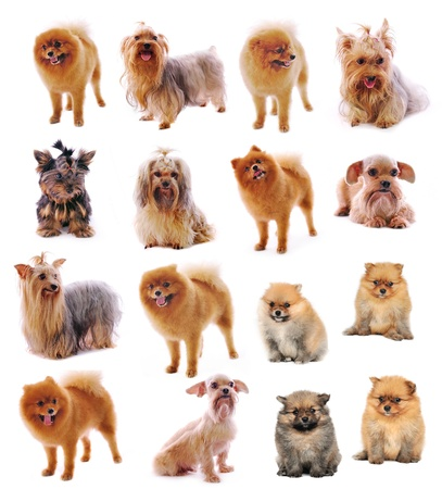 Yorkshire Terrier, Pomerania Spitz sobre fondo blanco photo