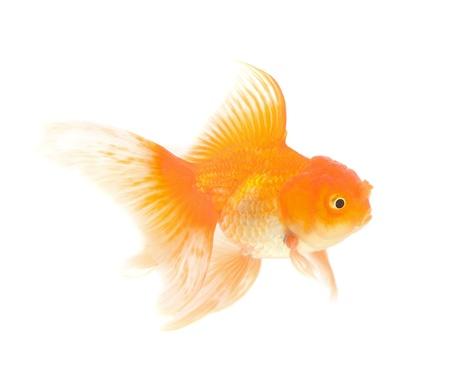 Orange Goldfish Isolated on White Background Stock Photo - 18526065