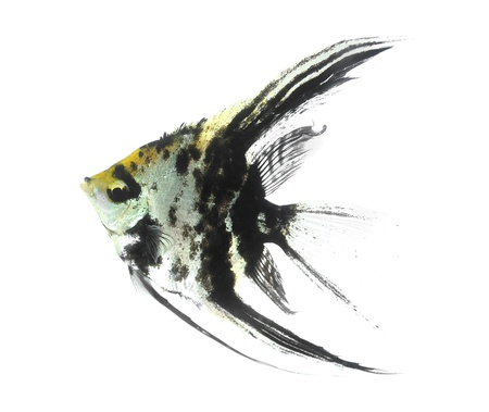 Angelfish  Stock Photo - 18526004