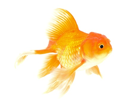 Gold fish. Isolation on the white Stock Photo - 18525996
