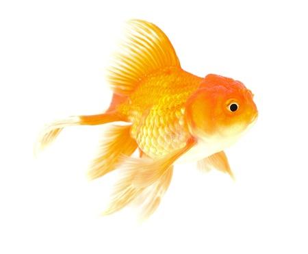 Gold fish. Isolation on the white Stock Photo - 18525996