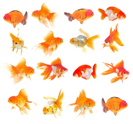 Gold fish  Isolation on the white photo