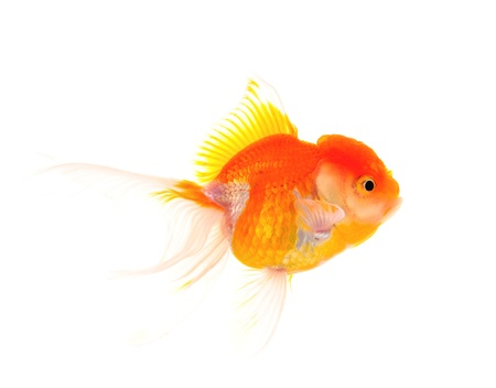 Gold fish. Isolation on the white Stock Photo - 19047678