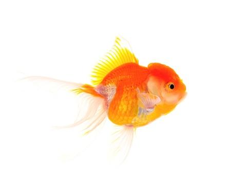Gold fish. Isolation on the white Stock Photo - 19047678
