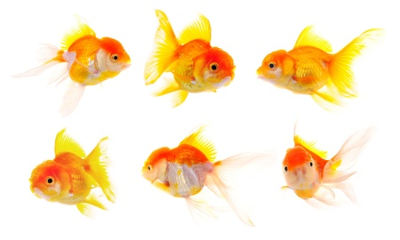 single fin: Gold fish. Isolation on the white Stock Photo
