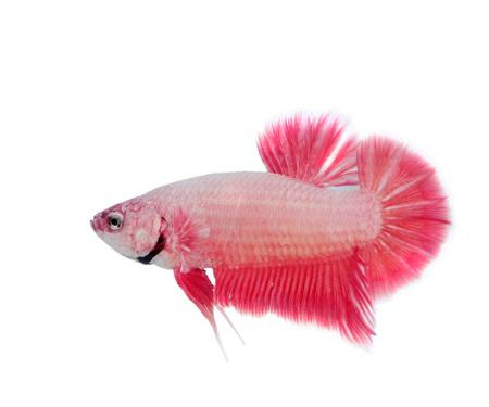 caudal: Siamese fighting fish Stock Photo