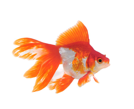 Gold fish isolated on a white background Stock Photo - 22936408