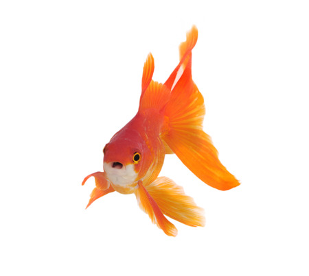 Gold fish isolated on a white background Stock Photo - 22936410