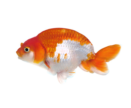 Gold fish isolated on a white background  Stock Photo - 22936413
