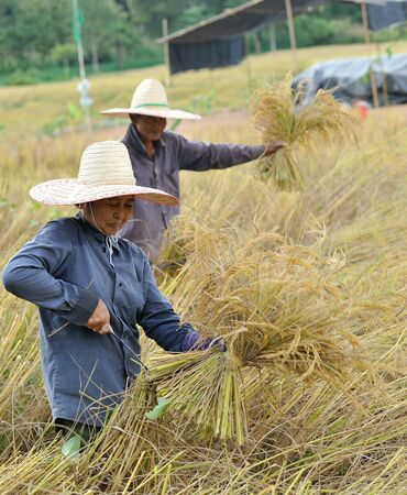 farmers harvesting rice in rice field in Thailand photo