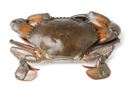 blue swimmer crab: sea crab isolated on white background