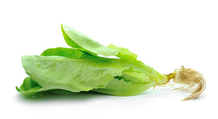 cos: Cos Lettuce isolated  on White Background