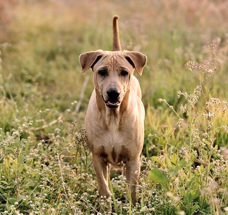 ridgeback: Thai Ridgeback Dog