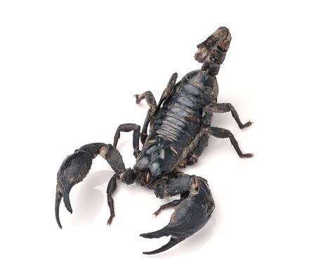 arachnophobia: Scorpion Pandinus imperator isolated on white background
