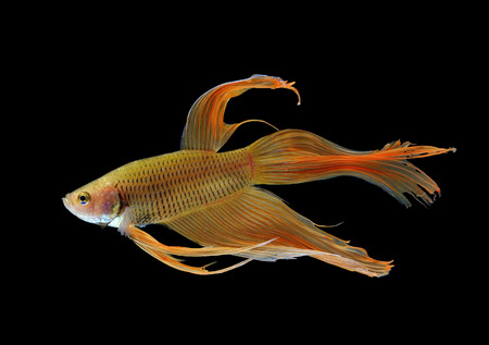 fire fin fighting:  betta fish isolated on white background Stock Photo