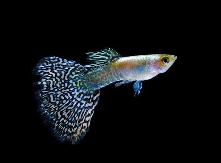 guppy pet fish swimming isolated on black photo