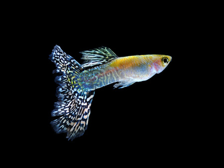 guppy pet fish swimming isolated on black photo