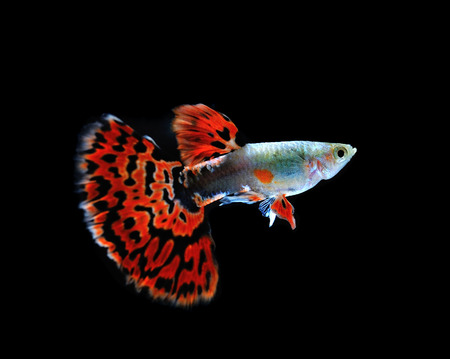 guppy  fish swimming isolated on black photo
