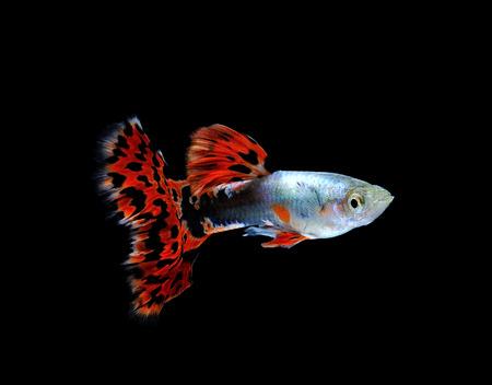 guppy  fish swimming isolated on black Stock Photo - 27017123