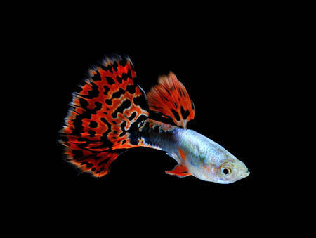 guppy  fish swimming isolated on black Stock Photo - 27017124