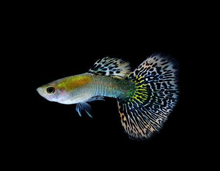 guppy  fish swimming isolated on black Stock Photo - 27256928
