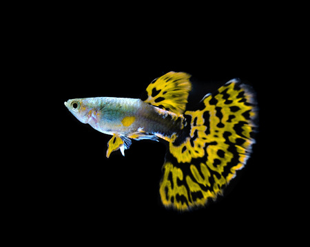 yellow guppy  fish swimming isolated on black Stock Photo - 27744849